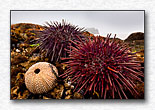 Getting to Know Sea Urchins