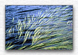 Grasses Floating on Water