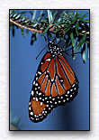 Hanging Monarch