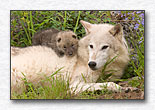Mother Wolf and Young