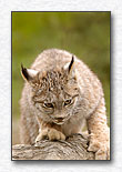 Young Canada Lynx